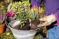 Planting a small, vintage galvanised container with Autumn plants. Bud flowering heathers, Hebe, Cyclamen, Viola