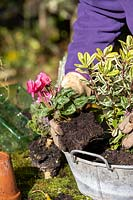 Person planting a cyclamen in small, vintage galvanised container with other autumn-interest plants.
