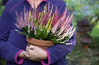 Person holding terracotta pot planted with Calluna vulgaris - Heather