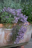 Thyme 'Peter Davis', 'Silver Queen', 'Silver Posie' and 'Common Compact' in terracotta planter.
