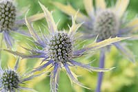 Eryngium x zabelii  'Neptune's Gold'  Golden leaved Sea holly