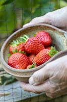 Strawberry 'Red Gauntlet', picked fruit in a bowl