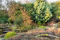 Cornus sanguinea 'Midwinter Fire' - Dogwood - with Pinus wallichiana - Pine - and other shrubs in a border