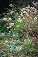 Borders with clumps of Galanthus - Snowdrop - under Hydrangea with spent flowers