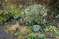 Clumps of Galanthus - Snowdrop, Helleborus - Hellebore, Carex and ferns amongst shrubs including Ilex - Holly and Cornus sericea 'Flaviramea' - Dogwood