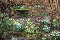 Clumps of Galanthus - Snowdrop - and Helleborus - Hellebore amongst shrubs including Hamamelis - Witch Hazel and Ribes laurifolium