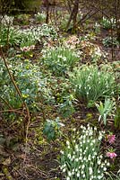 Clumps of Galanthus - Snowdrop - and Helleborus - Hellebore - amongst shrubs including Daphne laureola