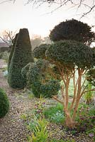 Clipped evergreens of Luma apiculata, box and yew in March