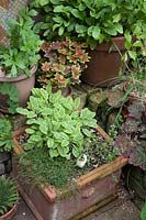 Herbs in terracotta container: Salvia - Variegated Sage, Thymus - Thyme