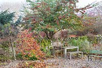 Cotoneaster tree in berry by stone wall and garden furniture, in foreground foliage of Corylus avellana contorta