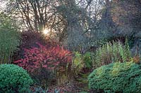 Low sun bursting from behind tree catches Berberis foliage in a shrub border