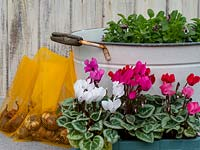 Materials for planting up metal tub container with autumn bedding plants and spring bulbs.
