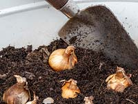 Planting up metal container with spring flowering bulbs in autumn.