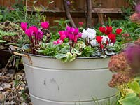 Metal tub container planted with Cyclamen and Pansy.