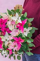 Woman holding Poinsettia wreath in pastel colours - small flowered Prinsettias.