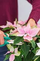 Woman cutting flower sprigs of small flowering Poinsettia also known as Prinsettia
