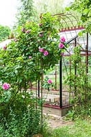 Greenhouse with metal arbour and Rosa 'Gertrude Jekyll' - Step by step How to make a rose arbour from wire mesh steel rebar.