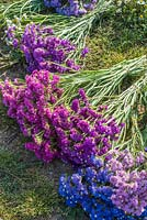 Bunches of harvested Statice