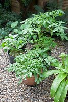 Vegetables in pots on gravel path, London town garden, Tomato Tumbling Tom Red, Dwarf French Bean Tasman, Tomato Gardener's Delight, Mixed Zinnia and Nasturtium Gleam Mixed