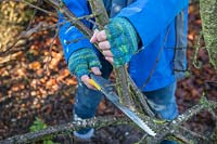 Woman using a small foldable pruning saw to prune a Plum 'Victoria' Tree in Winter