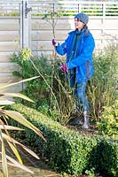 Woman cutting back rose stems by half in winter to avoid wind rock