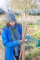 Woman using garden twine to tie up bamboo canes into a bundle ready for storing inside over winter
