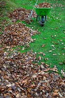 Clearing autumn leaves in November from lawn