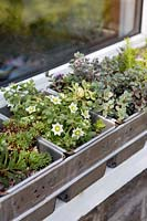 Collection of sedums planted in vintage bread maker