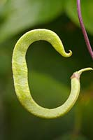 Gardening Alphabet Letter C: Bean pod curled to a C-shape