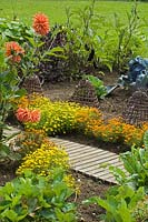 Potager garden with Dahlia and Tagetes.