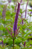 Veronicastrum virginicum 'Red Arrows'