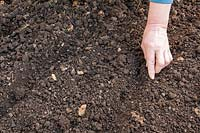 Sowing seeds directly into garden soil, then covering seeds lightly by pushing soil over them