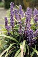Liriope muscari - Big blue lilyturf