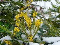 Mahonia japonica flowering under snow in winter