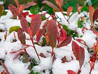 Photinia x fraseri 'Robusta' under snow with new red leaves
