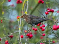 Turdus merula - Female blackbird feeding on ripe crab apples in January.