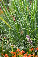 Wasp spider on ladder web with morning dew.