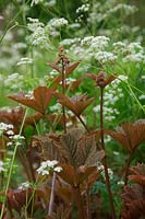 Anthriscus sylvestris with newly emerging foliage of Rodgersia pinnata
