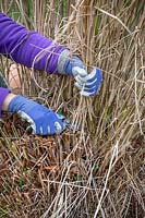 Pruning deciduous grasses by cutting back in spring. Using secateurs to avoid damaging green growth. Miscanthus sinensis.