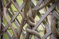 Wisteria branched twined around trellis