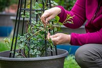 Tying in patio climbing roses with garden twine - bending the stems to encourage flowering.