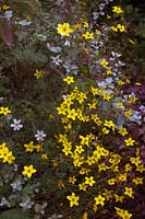 Bidens Gold Star with Helichrysum petiolare