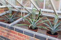Ananas - Pineapple - fruit growing in pots in an open cold frame