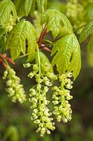 Acer macrophyllum - Bigleaf Maple - blossoms beneath emerging foliage