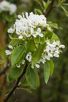 Pyrus communis 'Conference' - 'Conference' Pear blossoms among foliage