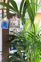 Howea forsteriana - Kentia palm in hallway