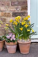 Daffodils and primulas in terracotta pots by front door