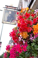 Brightly coloured planting outside pub, begonia and pelargonium