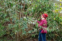 Using loppers to cut back buddleia stems by a half in early winter to prevent wind rock damage.