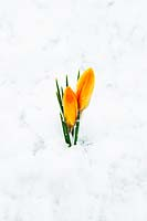 Yellow Crocus emerging through snow